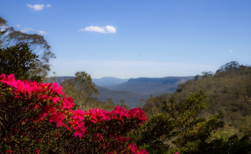 Azalea, Blue Mountains