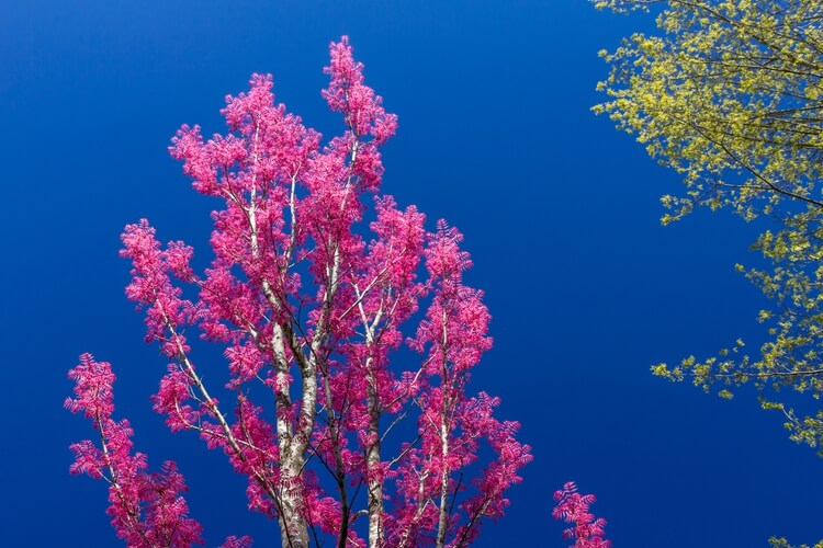 Blooming tree in Blue Mountains