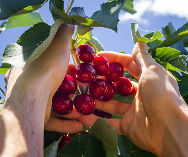Pick your own cherries in a farm. Enjoy the process of picking and eating.