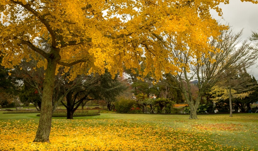 Golden autumn in Rotorua, New Zealand