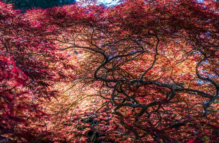 Japanese maple, Blue Mountains
