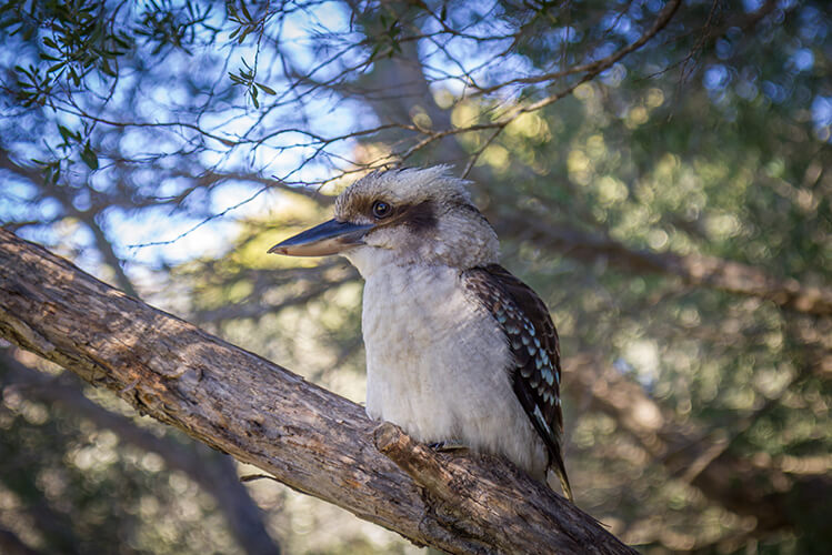 Kookaburras are common here