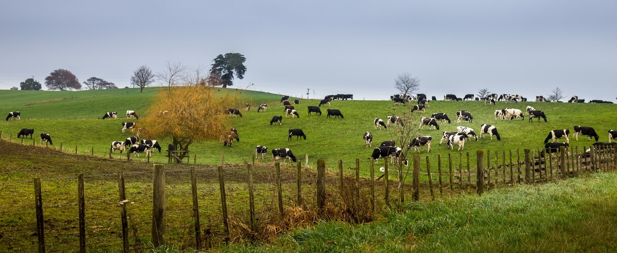 Cows on North Island, New Zealand