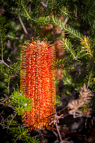 Red banksias are everywhere on the track